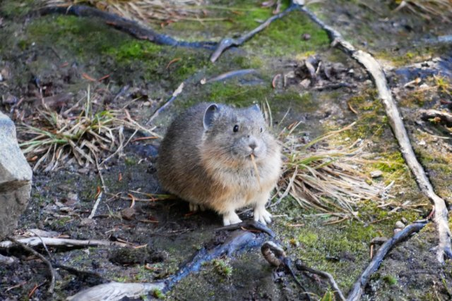 The first one ran away, but then another pika popped out!