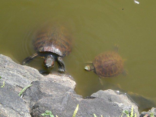 Sarusawaike tortoises