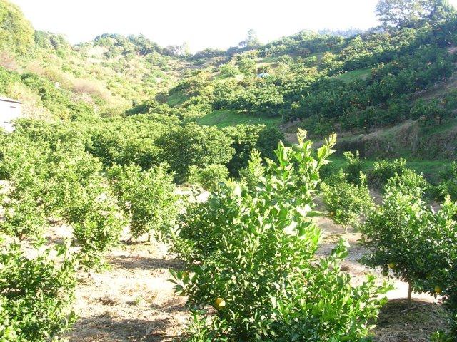 Mikan groves