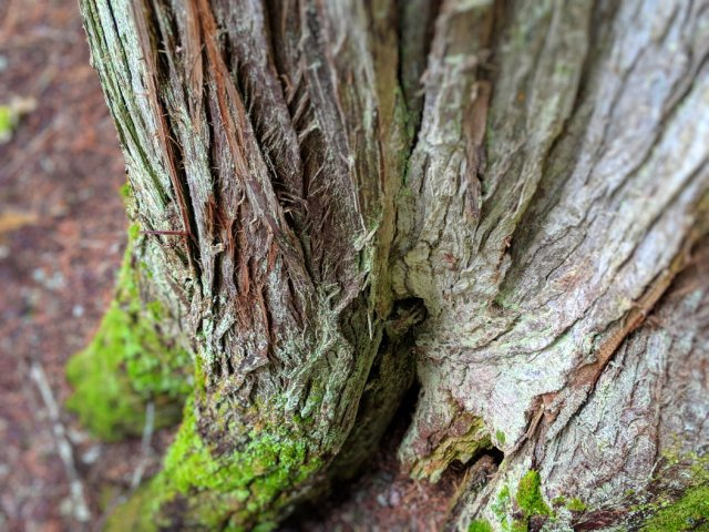 One of the Giant cedars up close