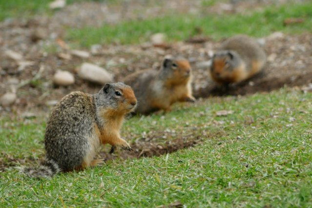 Ground squirrels Manning Park
