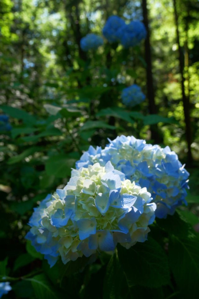 Pretty way to finish the hike - hydrangeas by minnekhada Lodge