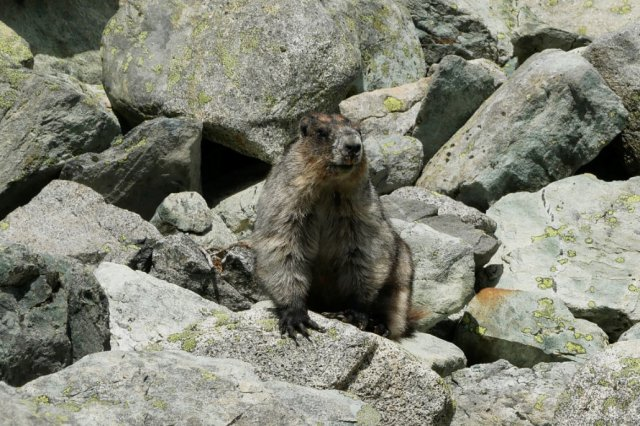 Well hello there marmot