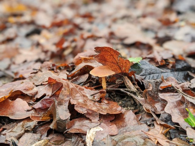 mushroom and dead leaves
