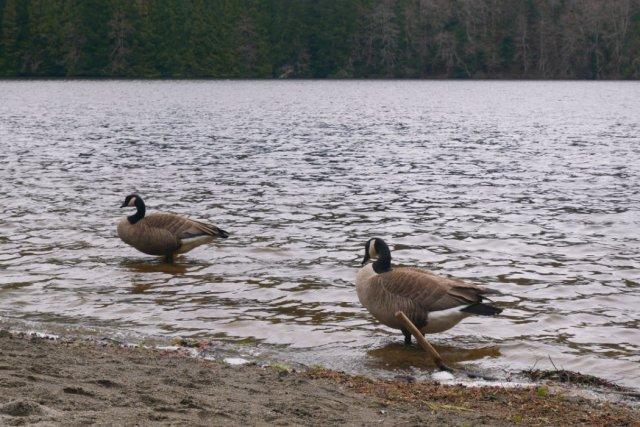 Alice Lake geese