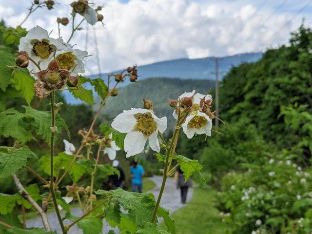 Thimbleberries on the Barnet Trail
