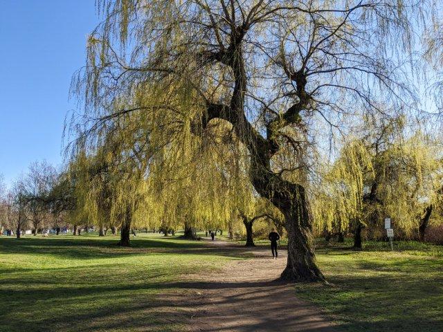 Beautiful willows near Trout Lake