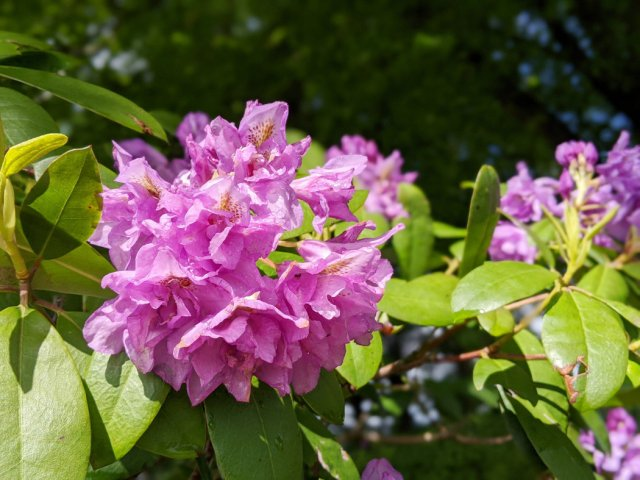 Pinky purple rhododendrons on Burnaby Mountain