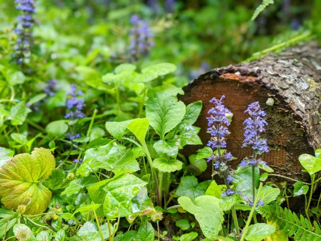 Pretty bugleweed flowers by the trail