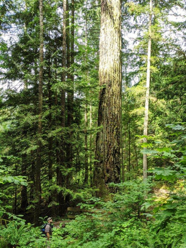 Seven Sisters massive trees