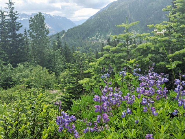 Alpine Lupines on the Zoa Peak trail