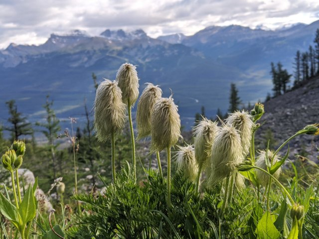 I love these poofs - on Fairbank Mountain