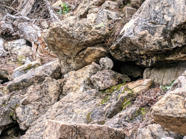 Pika on the trail