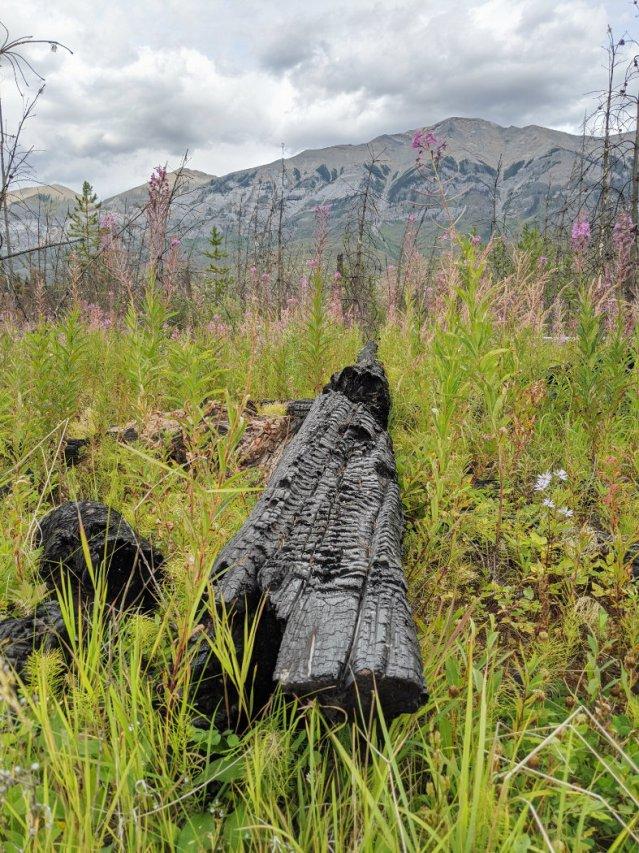 Felled charcoal trees