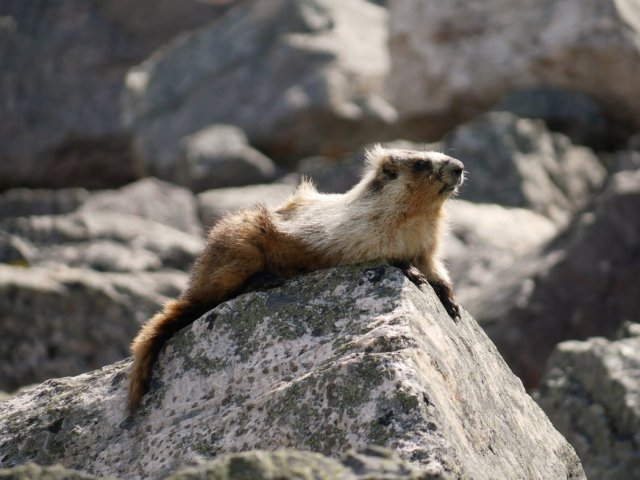 Marmot on the rocks with hair blowing in the wind
