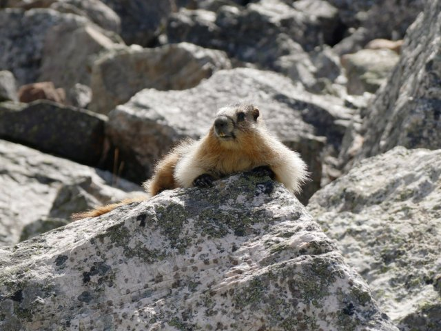 Marmot with a cute face