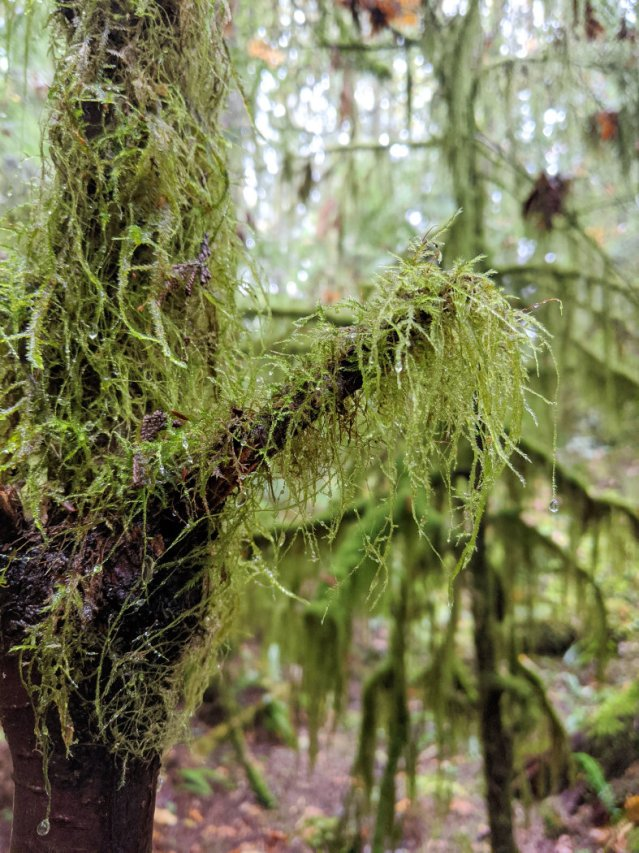 Amazing hanging moss in Squamish Valley