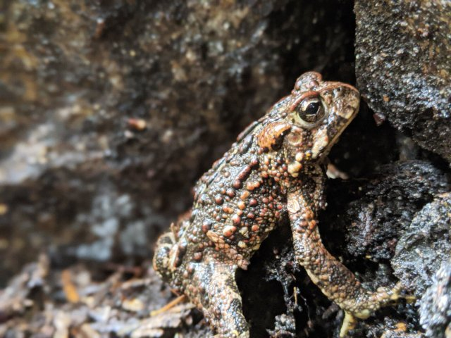 Toad near Crooked Falls