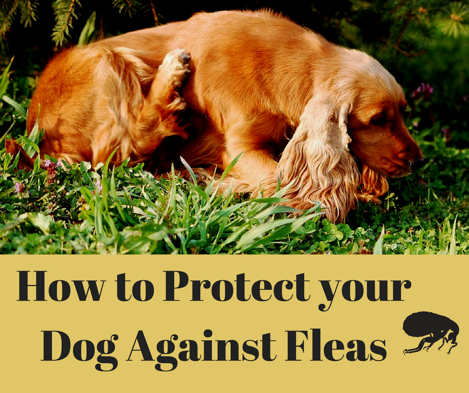Protect Your Pet Against Fleas, prevent flea bites, flea allergy in pets, flea prevention, K9 Advantix, Frontline, Frontline Plus, Advantage