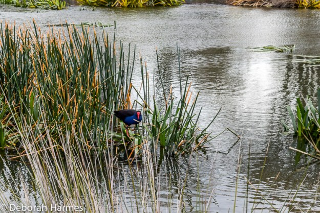 An Australian bird with a bright red face and deep blue chest picks its way through the marsh grass of an inland lake.