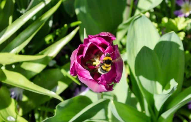 Bee on flower in Keukenhof