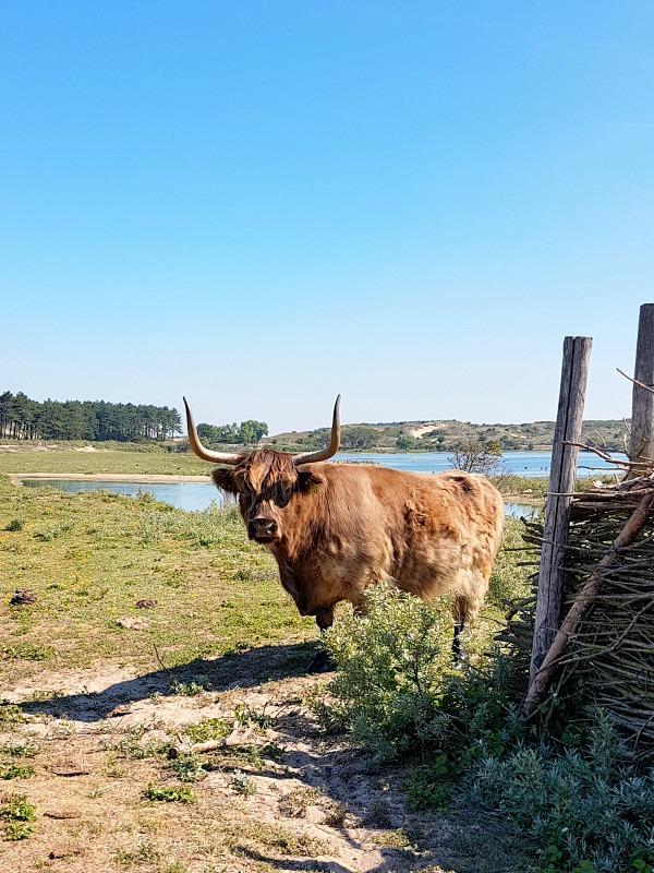 Buffalo in Zandvoort
