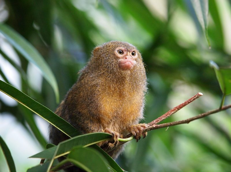 A pygmy marmoset in the Forest House. Photo ARTIS, Edwin Butter-Artis Zoo-Redactioneel