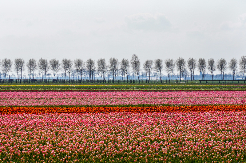 Tulip field rows