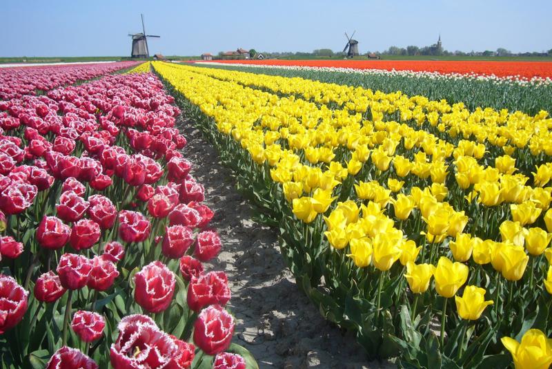 Mills with tulips in Alkmaar