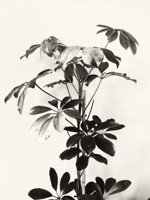 schefflera in black and white