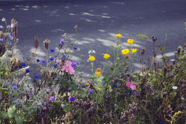 roadside wildflowers