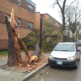 Large tree snapped by strong winds in Winnipeg at Corydon & Nassau.