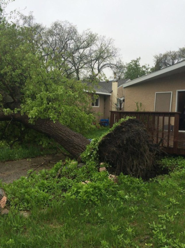 Photo of a downed tree in Winnipeg, MB. Photo via @mikki_co.