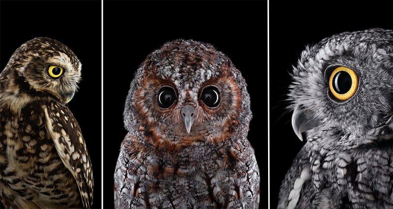 Wallpaper Wow Hd Photographer Brad Wilson Explores The Mystical Beauty Of Owls