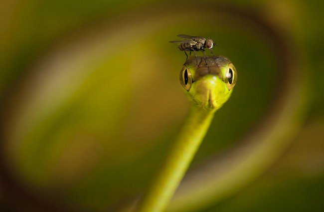 snake fly head
