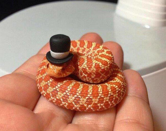 top hat snake