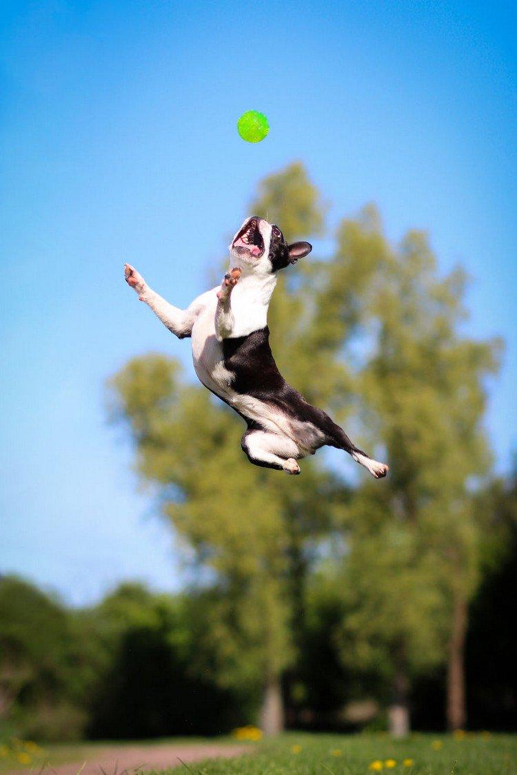 Sadie The Boston Terrier Is Bouncier Than Tigger