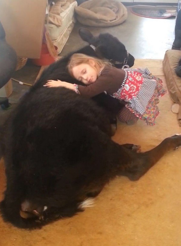 See 5 Year Old Breanna Sneak A Cuddly Baby Cow Into Her Home