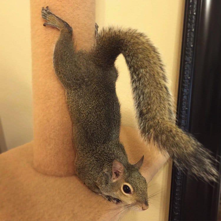 Meet Jill The CuteAsPie Squirrel Rescued After A Hurricane
