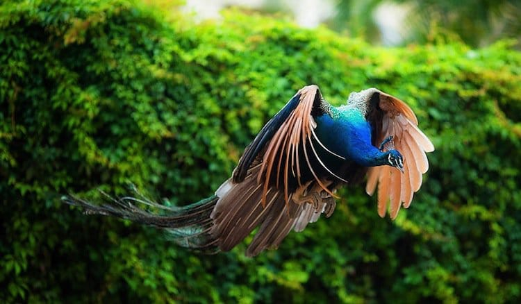 9 Incredible Images Of Peacocks That Prove They Actually Can Fly