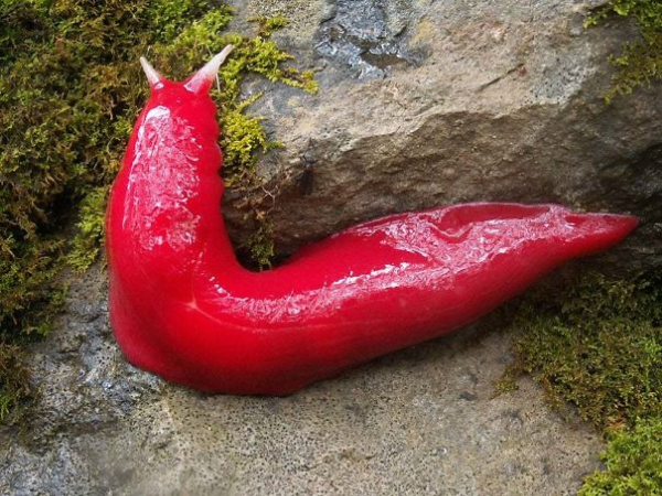giant hot pink slug scary animals in Australia