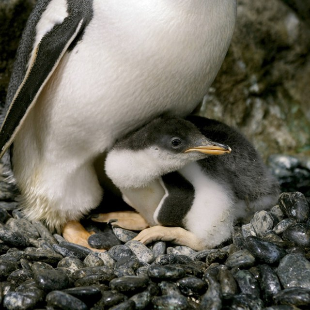 chick hatched by gay penguin couple
