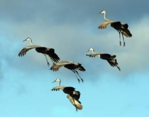 Cranes in Landing Formation - Photo By Tom Hodgson