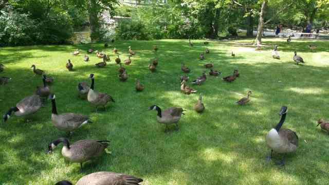 Feeding the ducks at MSU - #MittenTrip Lansing - The Awesome Mitten