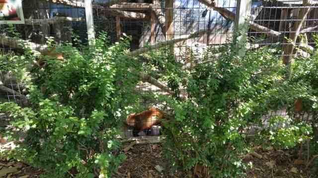 Potter Park red panda - #MittenTrip Lansing - The Awesome Mitten