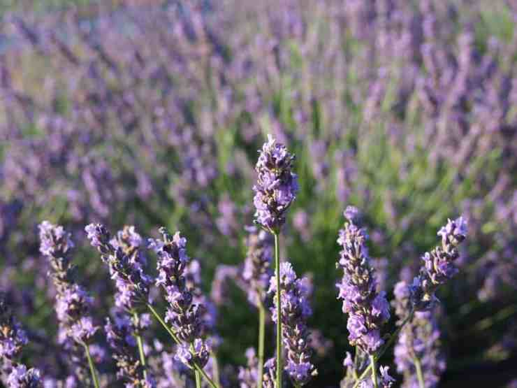 Lavender fields forever at Brys Estate's Secret Garden. Photo by John Kalmar