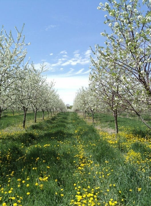 Picture of tart cherry trees taken in Oceana County.