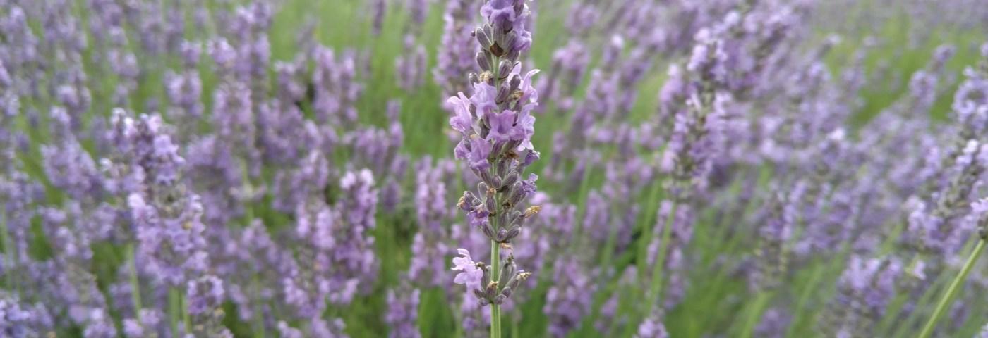 Rejuvenate At Michigan's Lavender Labyrinth