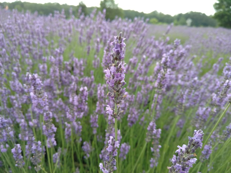 Rejuvenate At Michigan's Lavender Labyrinth -The Awesome Mitten