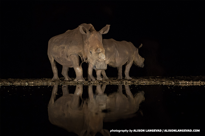 Dehorned white rhinos